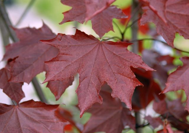 клен остролистный royal red / acer platanoides royal red