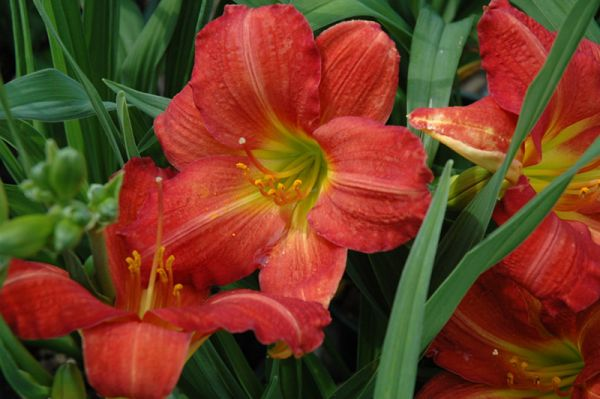 лилейник red rum / hemerocallis red rum