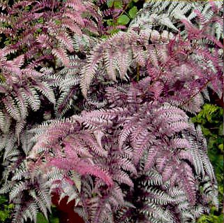 папоротник ursula's red / athyrium ursula's red